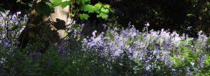 Ilkley Bluebells