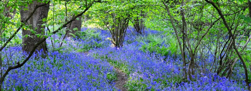 Path through Bluebells