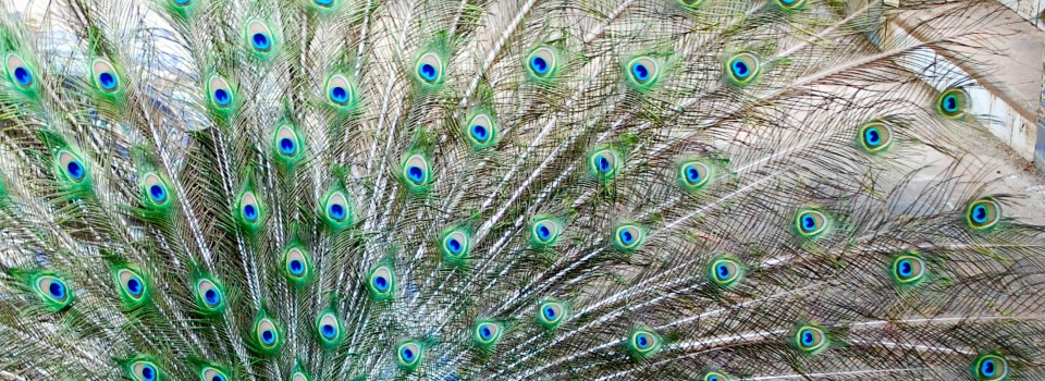 Peacock tail up