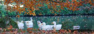 Ducks on pond and autumn leaves