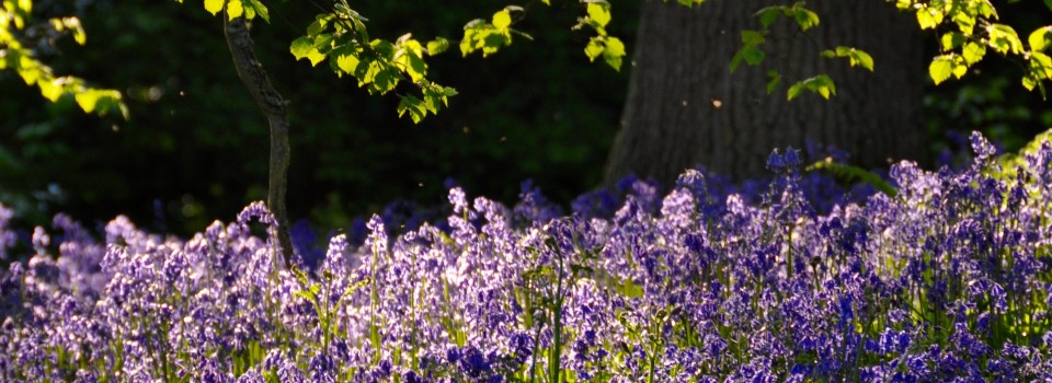 Bluebells in Ilkley