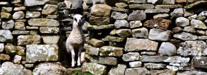 mule lamb looks through wall