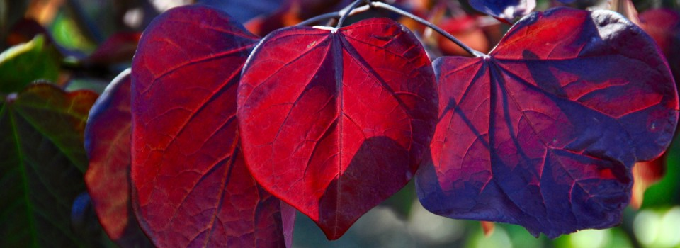 Red leaves at Parcevall Hall gardens