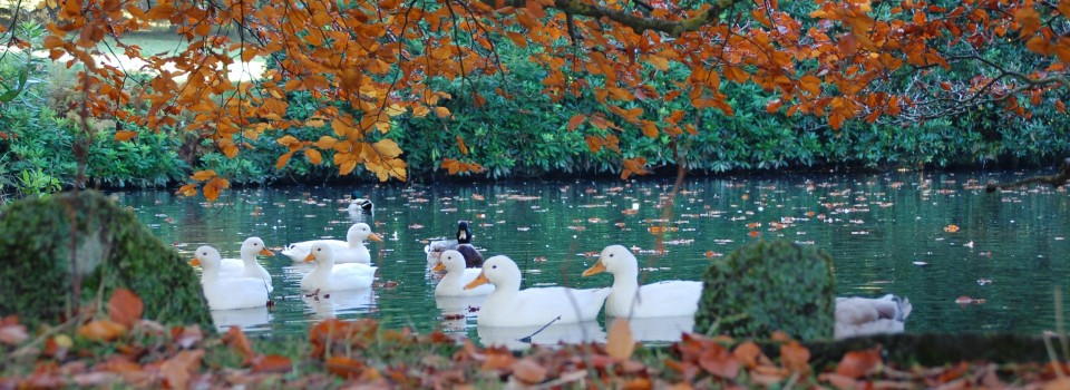 Autumn Ducks